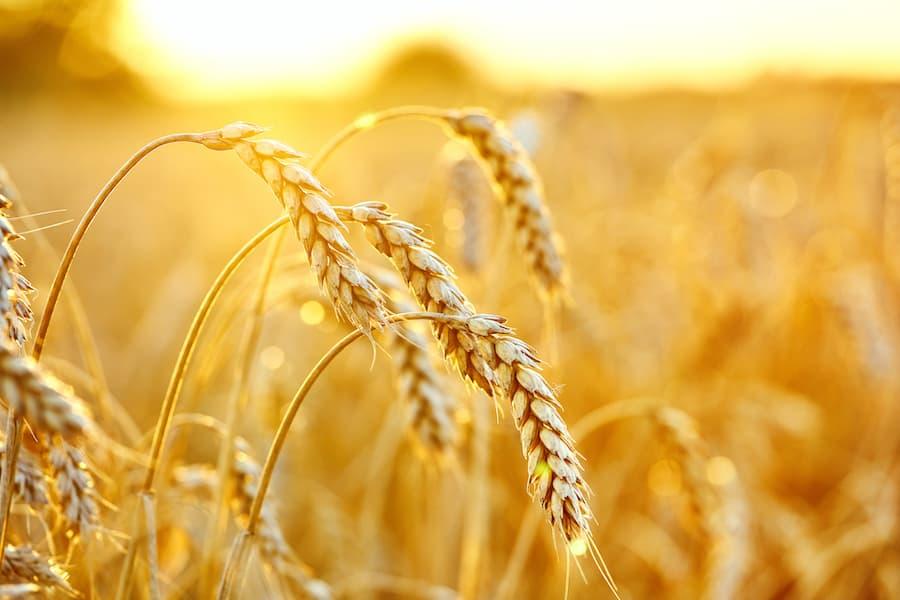 Buğday Yetiştiriciliği