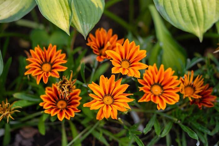 Gazanya Çiçeği Yetiştiriciliği