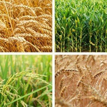 Tahıl Besleme Programları